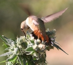 hummingbird feasting on cannabis