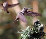 hummingbirds love cannabis 3
